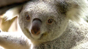 Das Koala-Baby soll gewogen werden