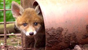 Mobbing unter Fuchs-Geschwistern