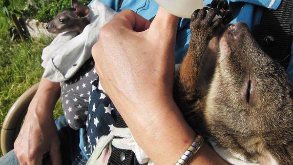 Herausforderung für Känguru-Mama Biga Kruse