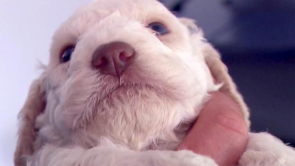 Hundegeburt auf Italienisch: Lagotto Romagnolo-Welpen