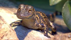 Zu Besuch bei Alligatorenbabys