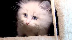 "Thema heute u.a.: Ragdoll-Katze ""Lucy"""